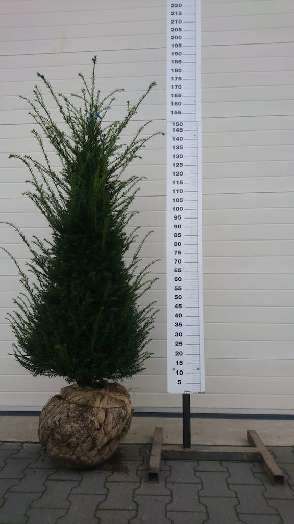 Taxus baccata 150-175cm root-ball Yew hedge plant