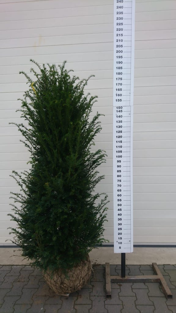 Taxus baccata 175-200cm root-ball Yew hedge plant