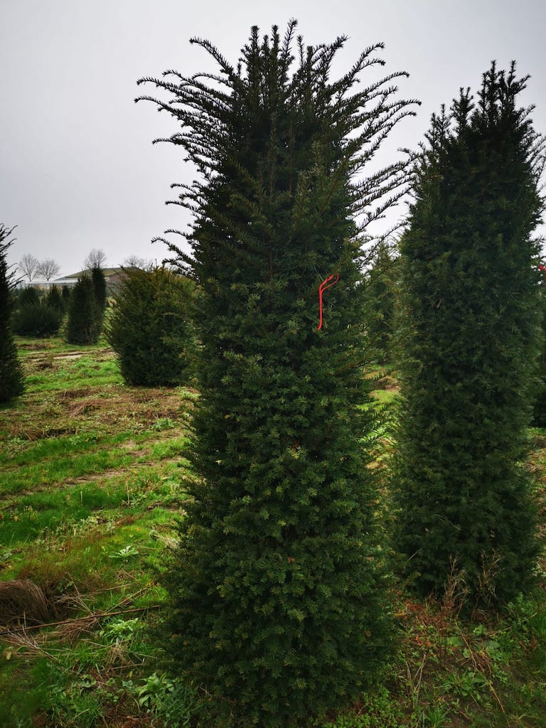 Taxus baccata 225-250cm root-ball Yew hedge plant