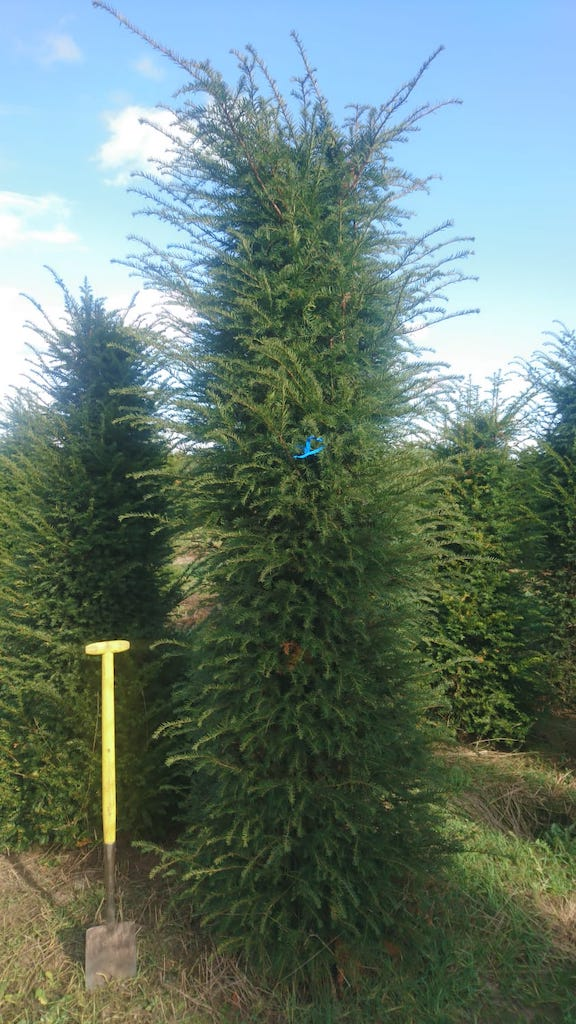 Taxus baccata 250-300cm root-ball Yew hedge plant