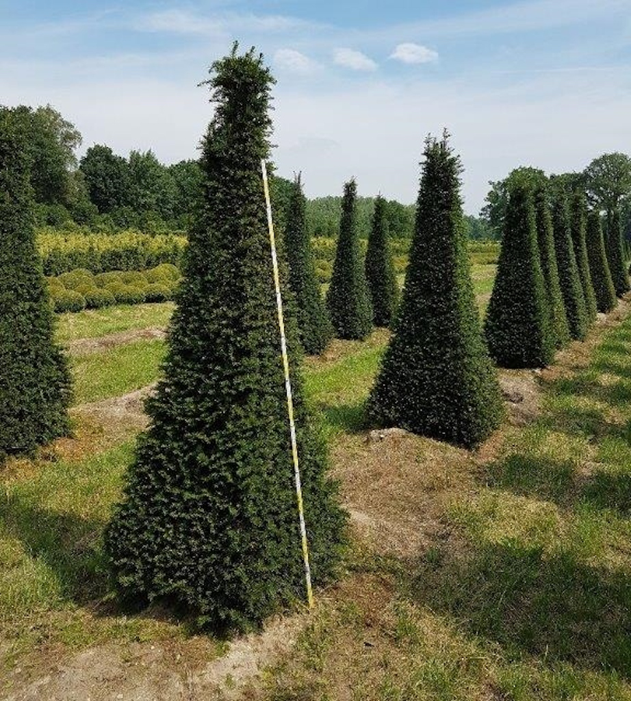 Taxus baccata 4 sided pyramid 225-250cm, sides 80-90cm wide