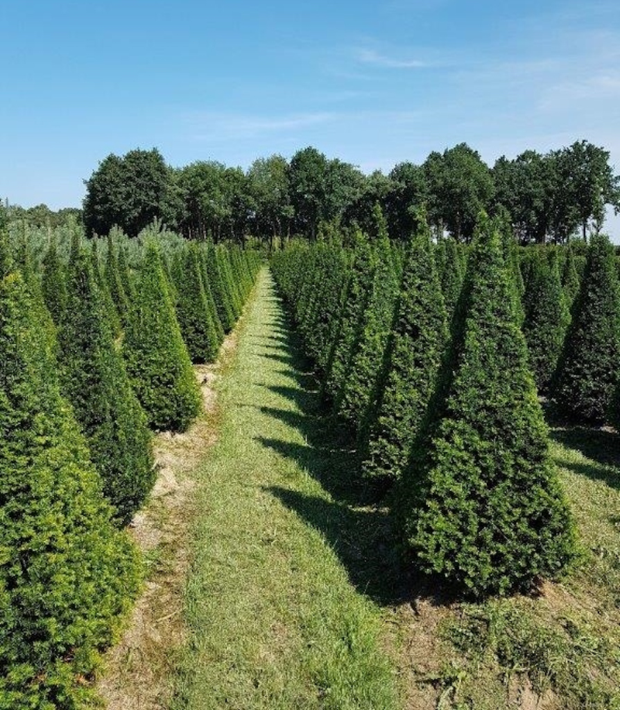 Taxus baccata 4 sided pyramids 200-250cm
