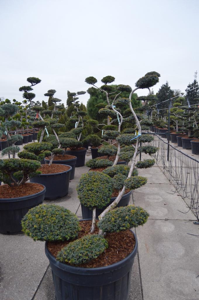 Taxus baccata 'Summergold' cloud pruned tree 125-150cm