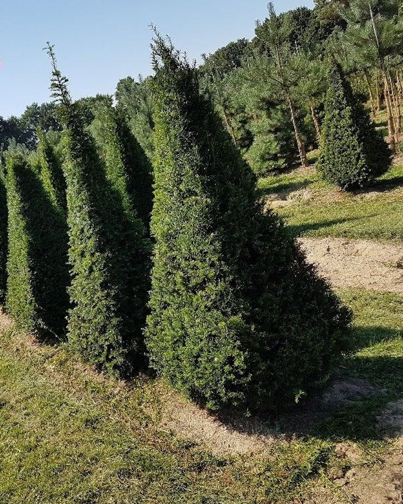 Taxus baccata (Yew) 4 sided pyramids 175-200cm tall