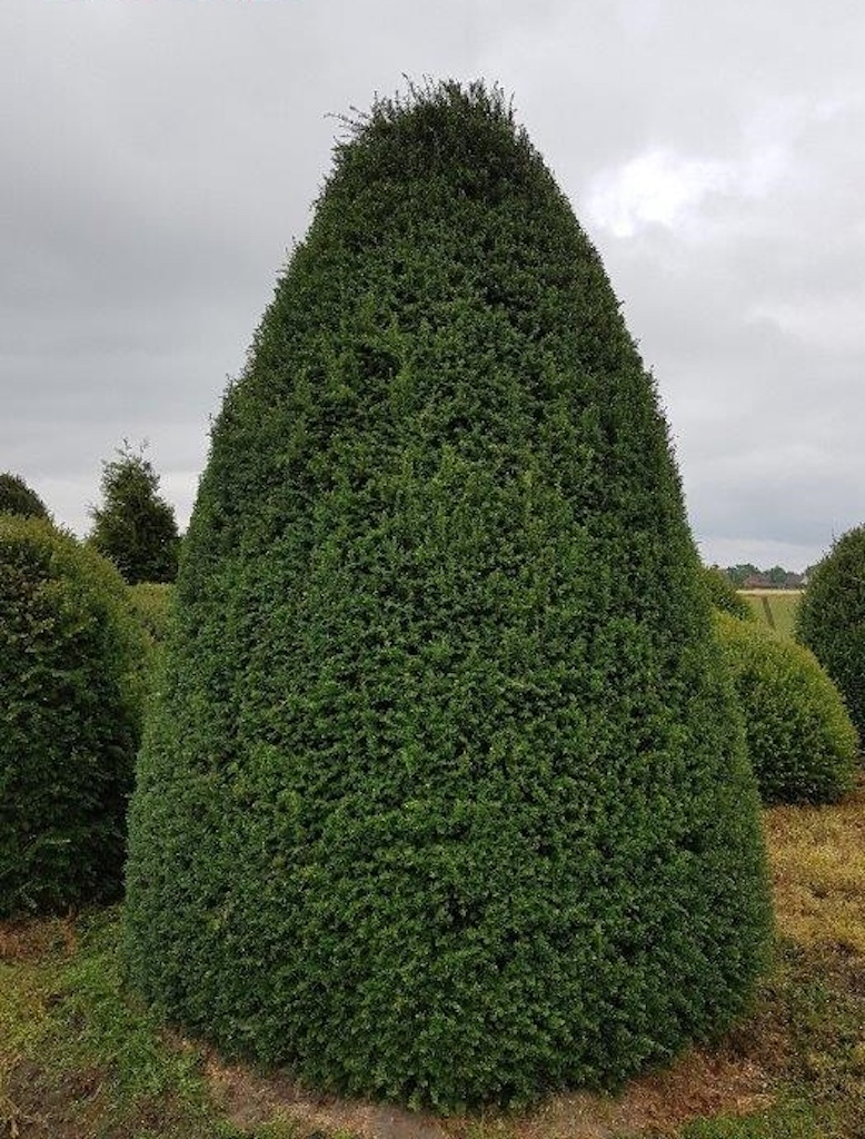 Taxus baccata (Yew) beehive 300-350cm tall x 200-250cm diameter