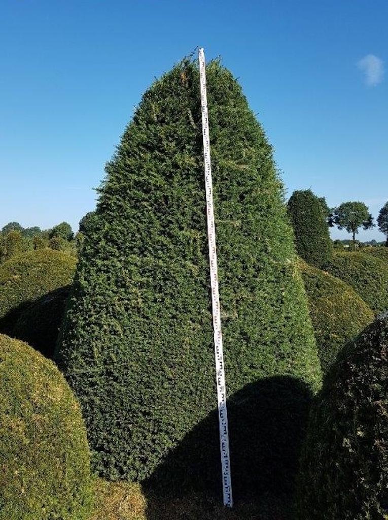 Taxus baccata (Yew) beehive 300-350cm