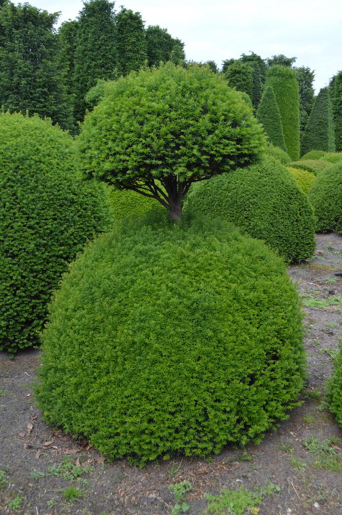 Taxus baccata (Yew) bespoke topiary plant (10)