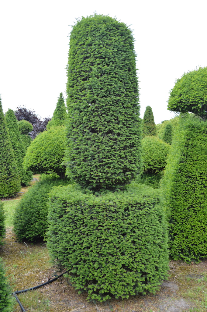 Taxus baccata (Yew) bespoke topiary plant (100)