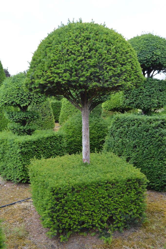 Taxus baccata (Yew) bespoke topiary plant (101)