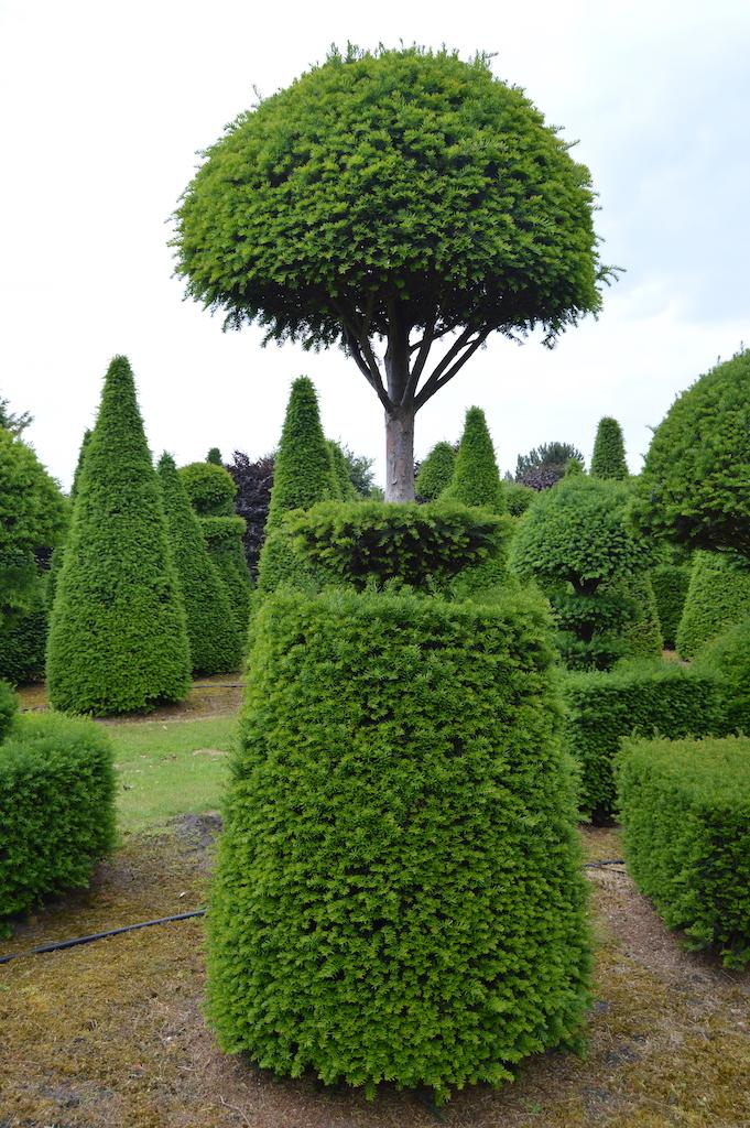 Taxus baccata (Yew) bespoke topiary plant (102)