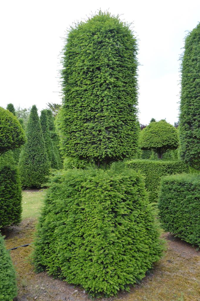 Taxus baccata (Yew) bespoke topiary plant (103)
