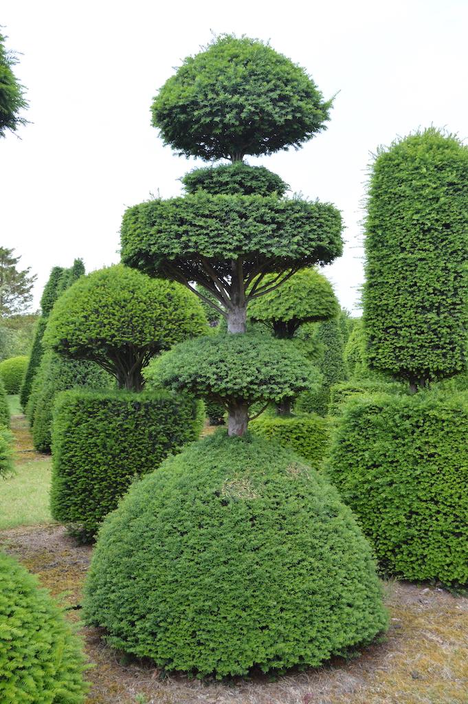Taxus baccata (Yew) bespoke topiary plant (104)