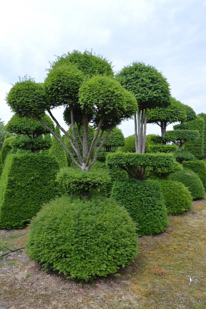 Taxus baccata (Yew) bespoke topiary plant (105)