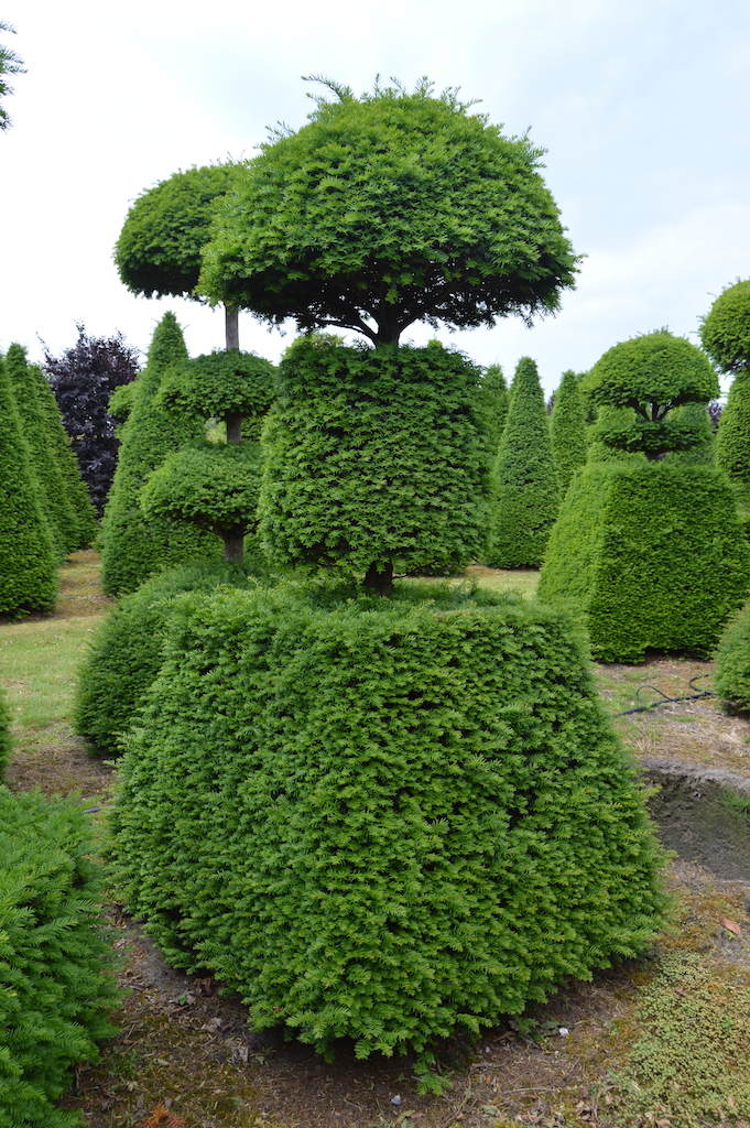 Taxus baccata (Yew) bespoke topiary plant (106)