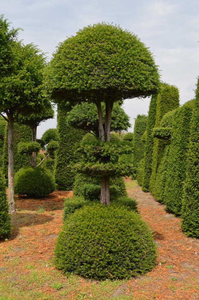 Taxus baccata (Yew) bespoke topiary plant (107)