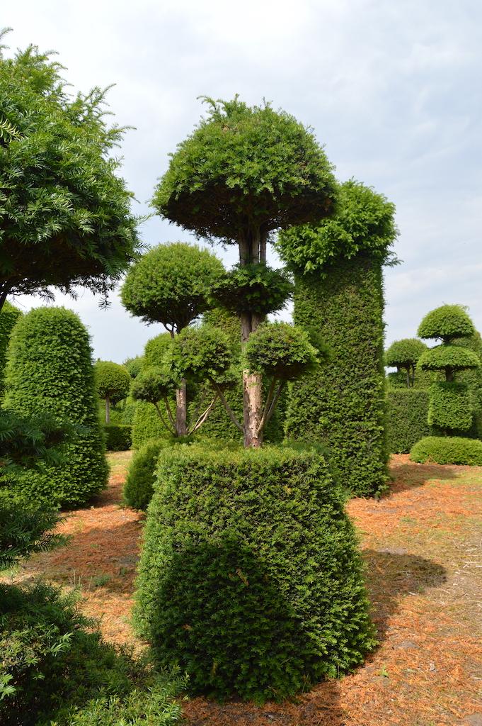 Taxus baccata (Yew) bespoke topiary plant (108)