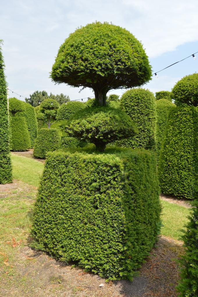 Taxus baccata (Yew) bespoke topiary plant (109)