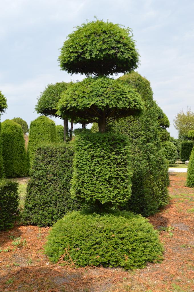 Taxus baccata (Yew) bespoke topiary plant (110)