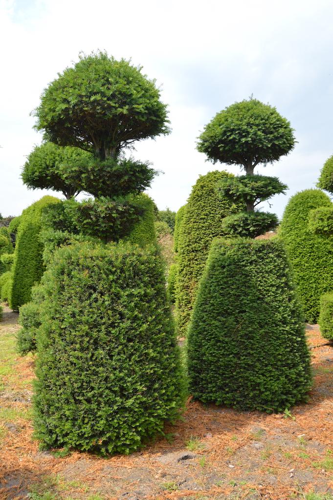 Taxus baccata (Yew) bespoke topiary plant (111)