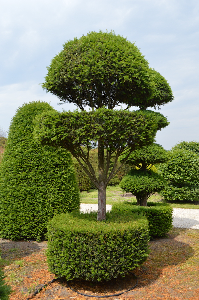 Taxus baccata (Yew) bespoke topiary plant (112)