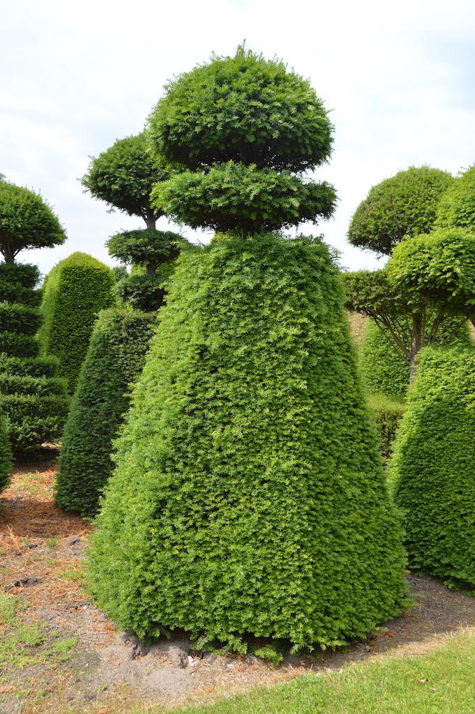 Taxus baccata (Yew) bespoke topiary plant (113)