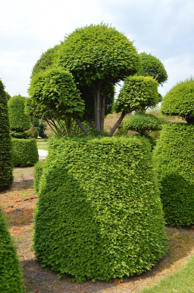 Taxus baccata (Yew) bespoke topiary plant (114)