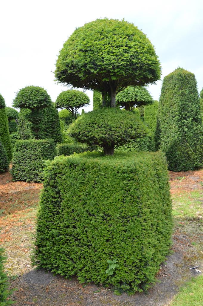 Taxus baccata (Yew) bespoke topiary plant (116)