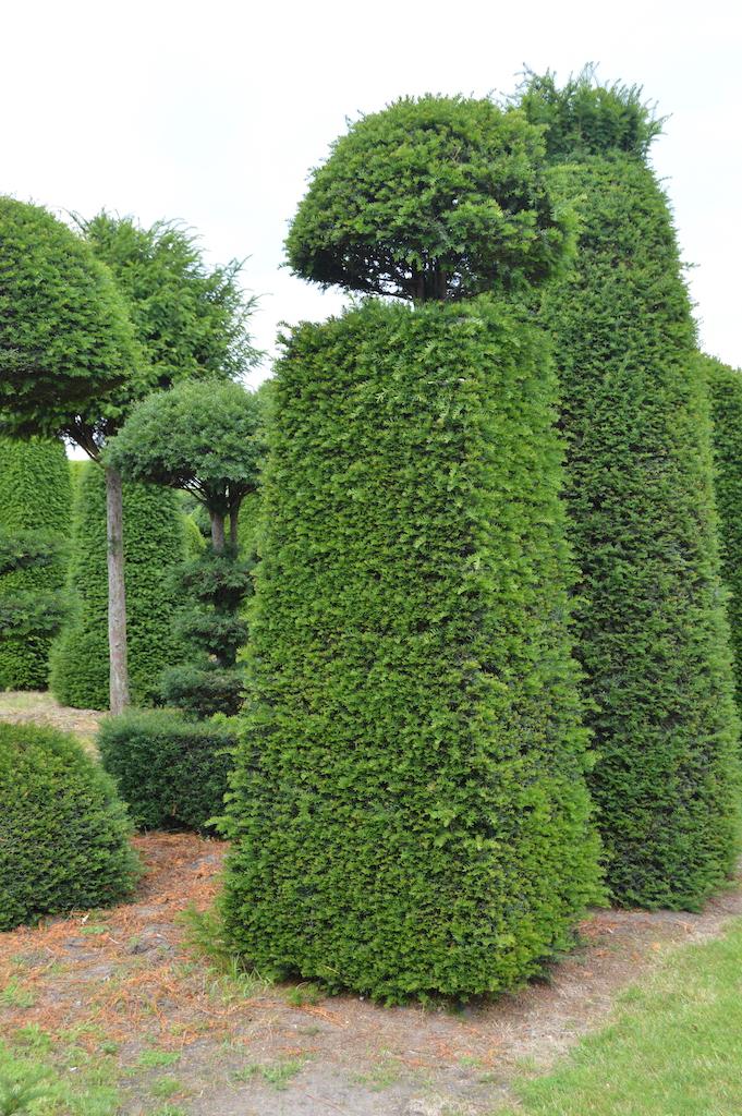 Taxus baccata (Yew) bespoke topiary plant (117)