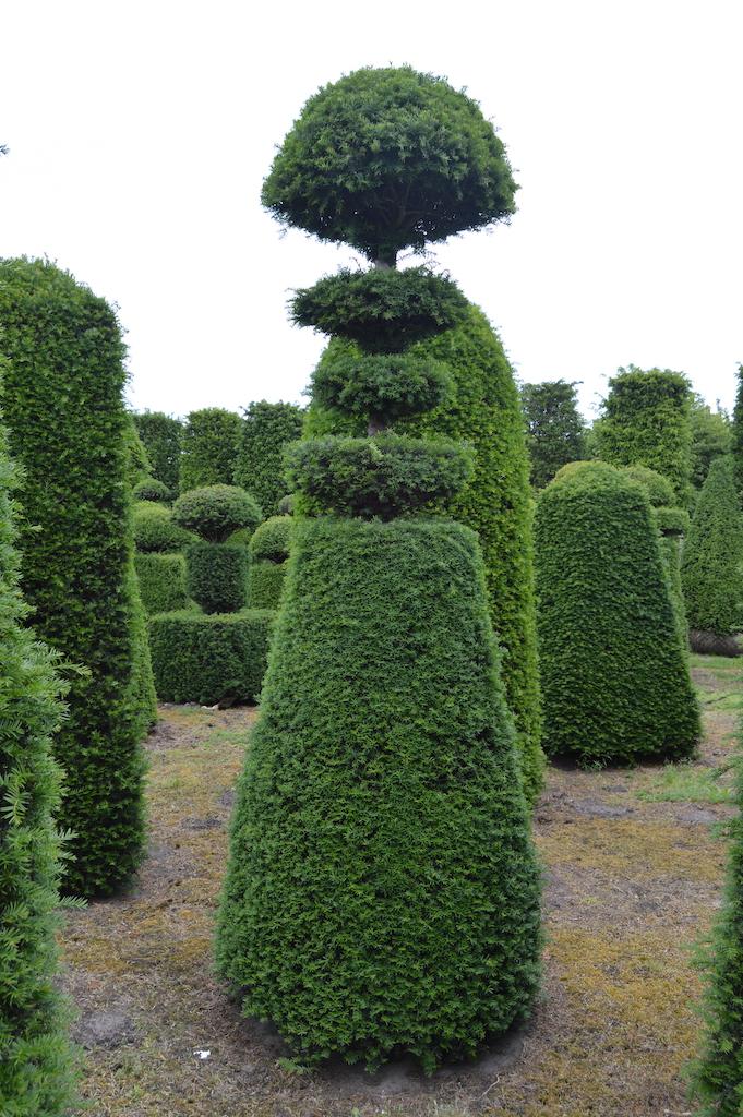 Taxus baccata (Yew) bespoke topiary plant (118)
