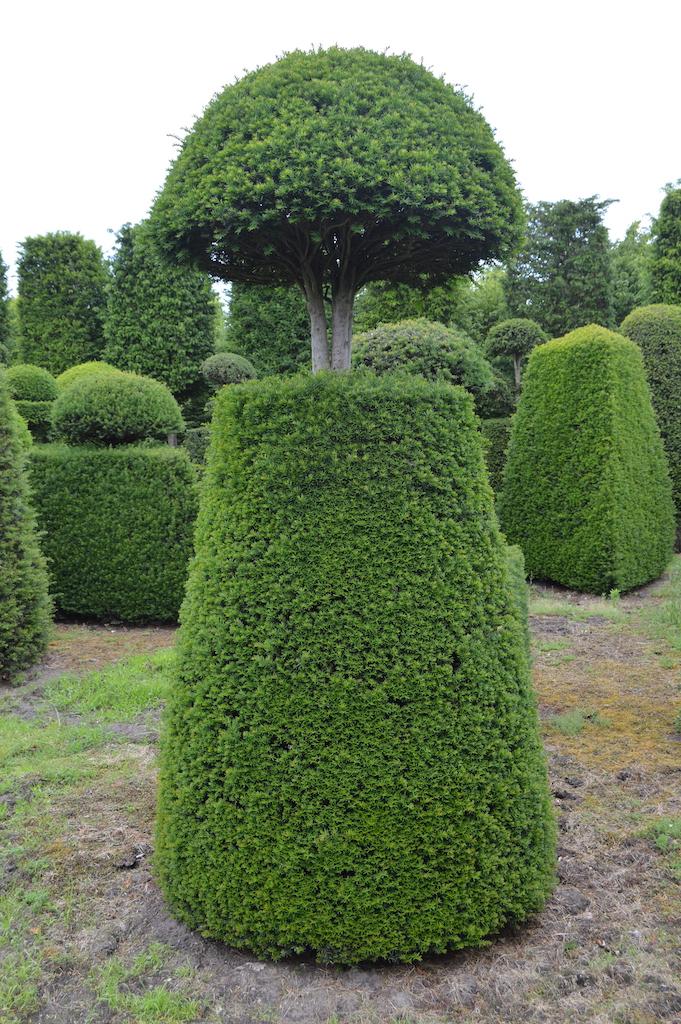 Taxus baccata (Yew) bespoke topiary plant (119)