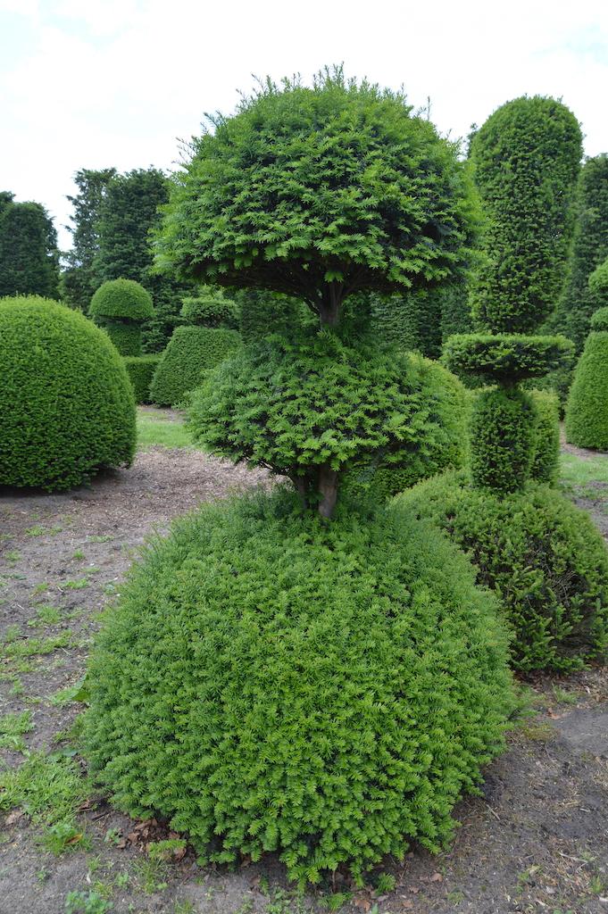 Taxus baccata (Yew) bespoke topiary plant (12)
