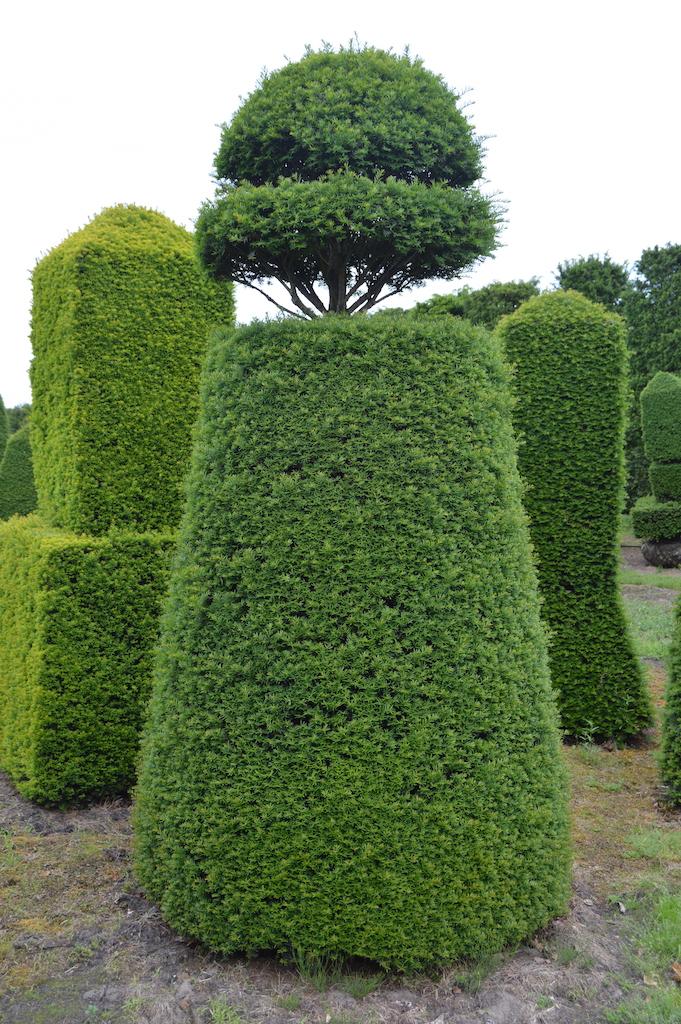 Taxus baccata (Yew) bespoke topiary plant (121)