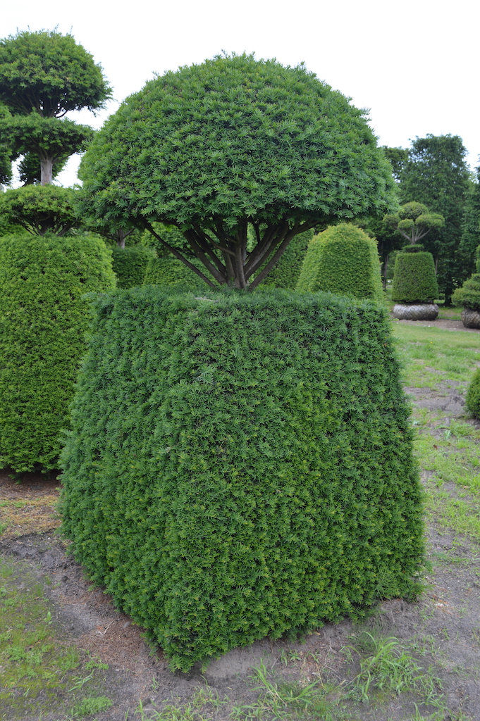 Taxus baccata (Yew) bespoke topiary plant (123)