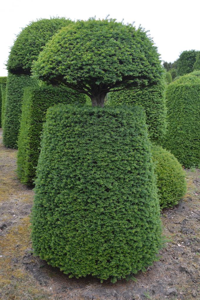 Taxus baccata (Yew) bespoke topiary plant (125)