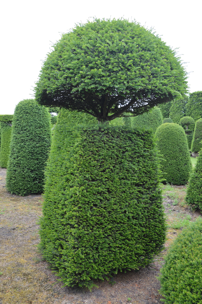 Taxus baccata (Yew) bespoke topiary plant (127)