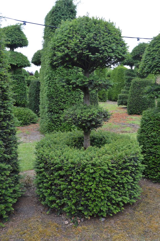 Taxus baccata (Yew) bespoke topiary plant (128)