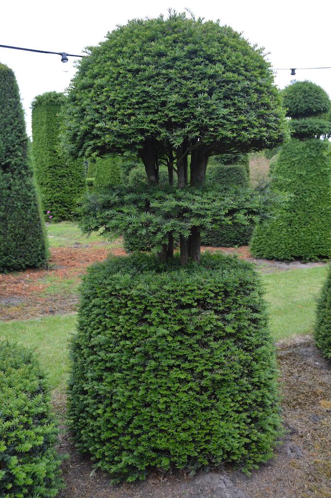 Taxus baccata (Yew) bespoke topiary plant (129)