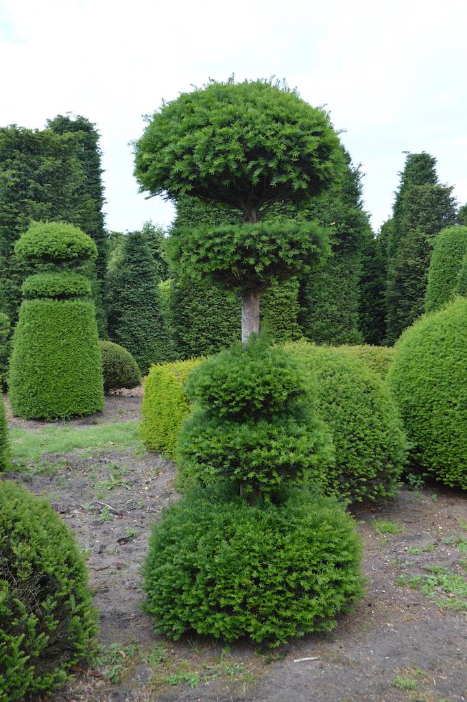Taxus baccata (Yew) bespoke topiary plant (13)