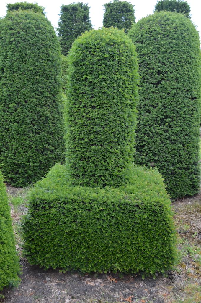 Taxus baccata (Yew) bespoke topiary plant (130)