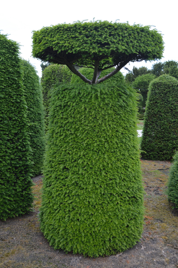Taxus baccata (Yew) bespoke topiary plant (132)