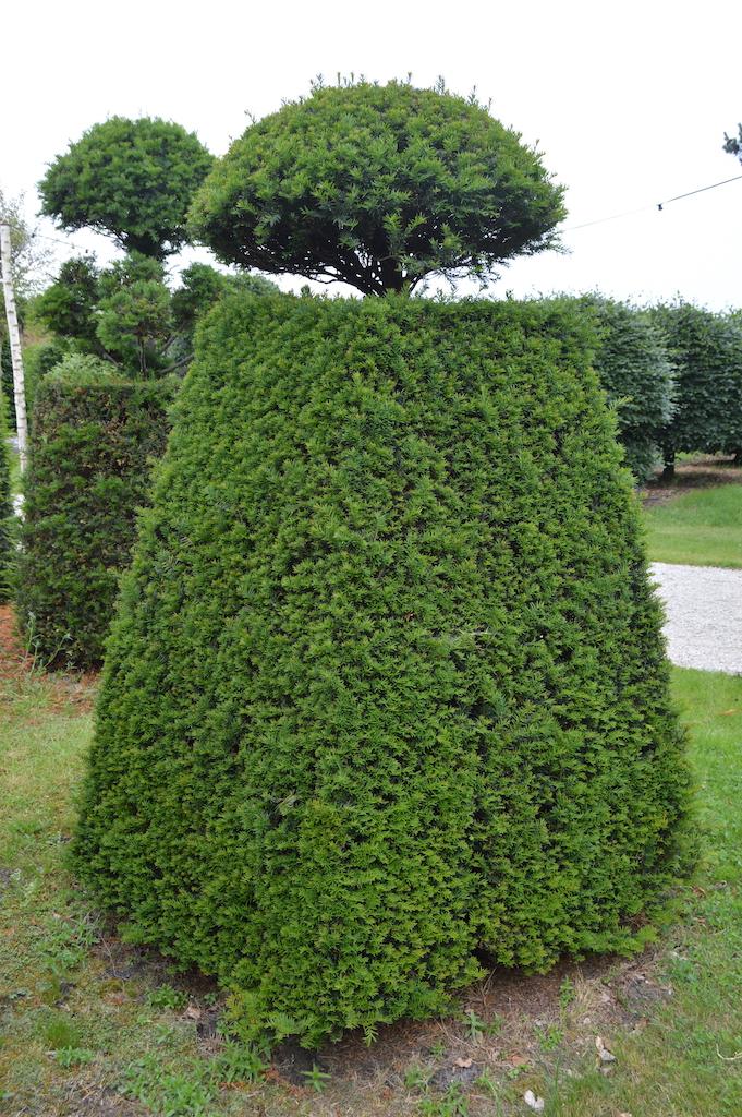 Taxus baccata (Yew) bespoke topiary plant (135)