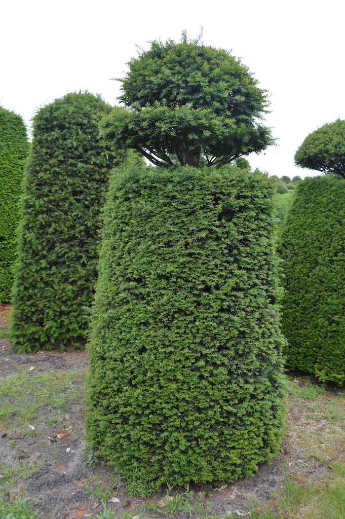Taxus baccata (Yew) bespoke topiary plant (136)
