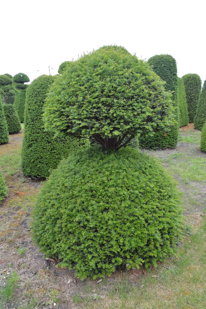 Taxus baccata (Yew) bespoke topiary plant (137)