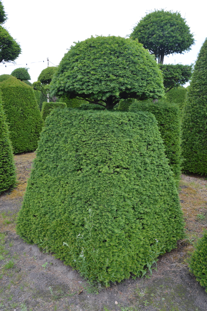 Taxus baccata (Yew) bespoke topiary plant (138)