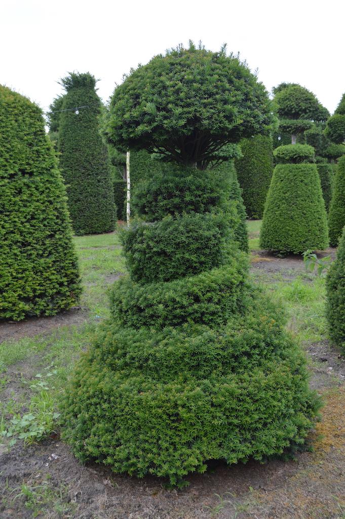 Taxus baccata (Yew) bespoke topiary plant (139)