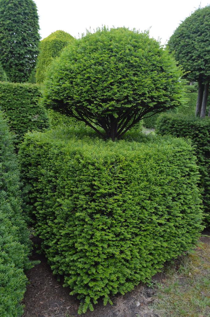 Taxus baccata (Yew) bespoke topiary plant (140)