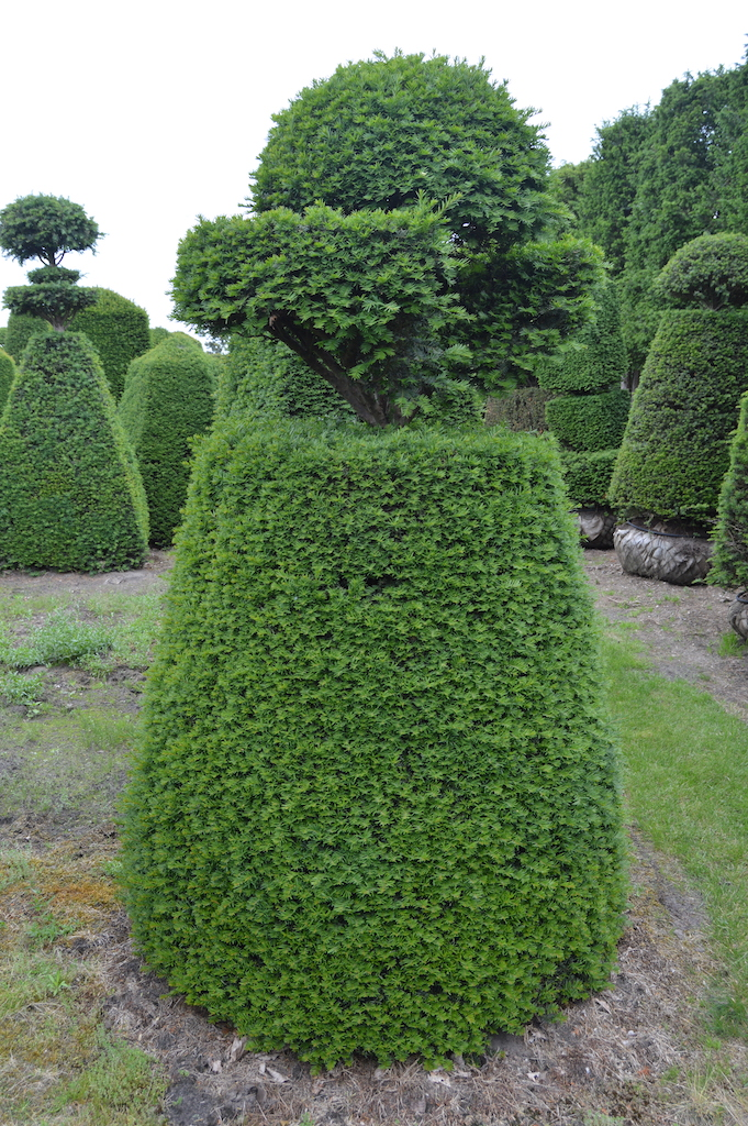 Taxus baccata (Yew) bespoke topiary plant (141)