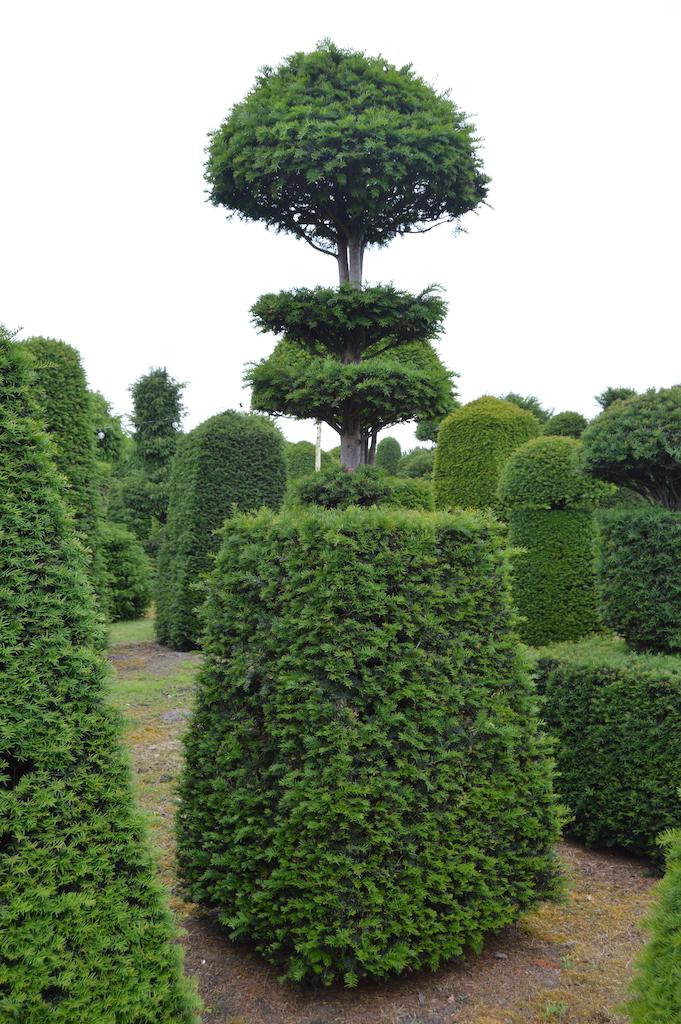Taxus baccata (Yew) bespoke topiary plant (144)