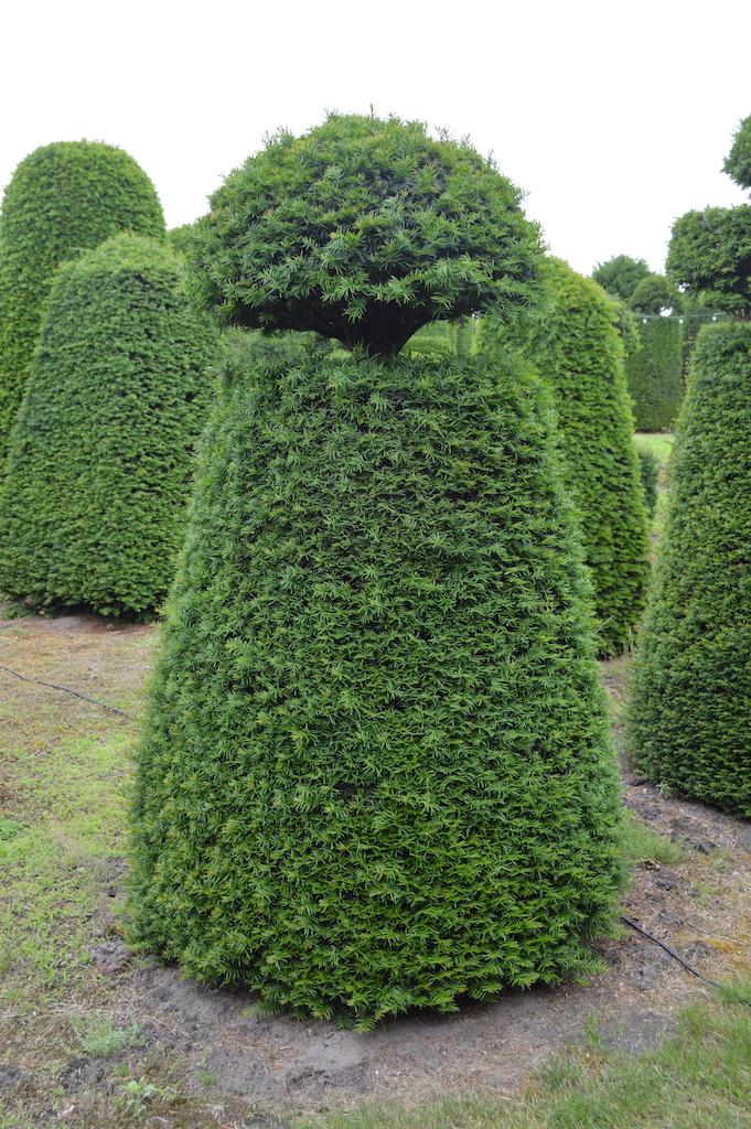 Taxus baccata (Yew) bespoke topiary plant (145)