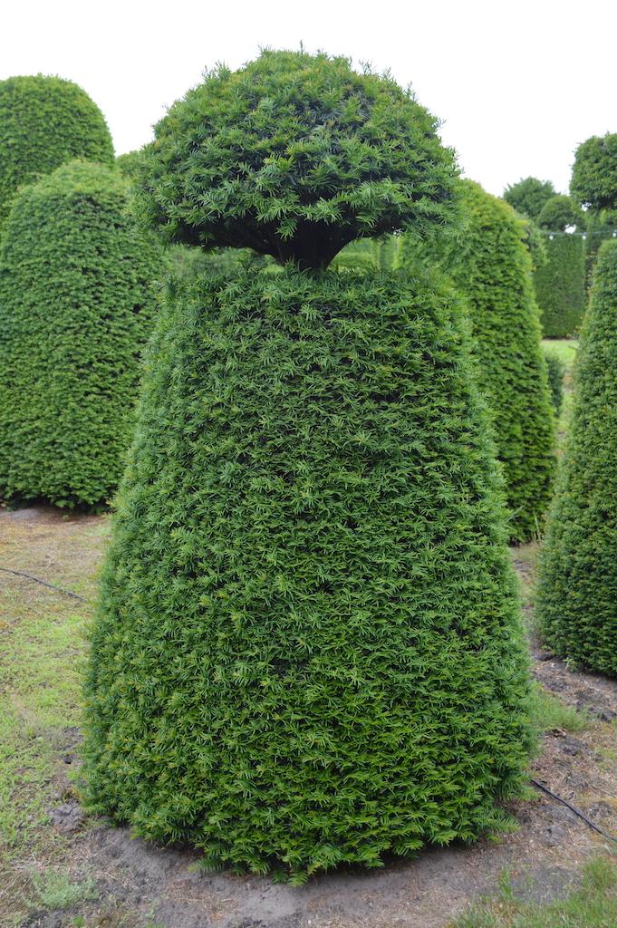 Taxus baccata (Yew) bespoke topiary plant (146)
